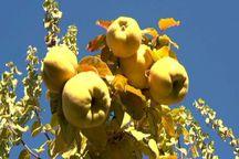 باغداران بهاباد افزون بر هزار تن محصول « به» برداشت کردند