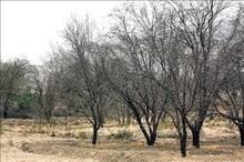 300 هکتار از باغات مثمر لردگان خشک شد