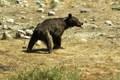 خرس در برخورد با قطار در شیراز تلف شد