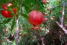 کاهش 90 درصدی تولید انار و 20 درصدی زعفران در خراسان رضوی