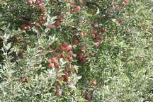 پیش بینی برداشت بیش از 72 هزار تن سیب از باغات میاندوآب