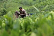 محققان پژوهشکده چای، نهال جدید تولید می کنند