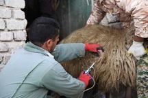 بیش از 3 میلیون دام در آذربایجان غربی علیه تب برفکی ایمن شد