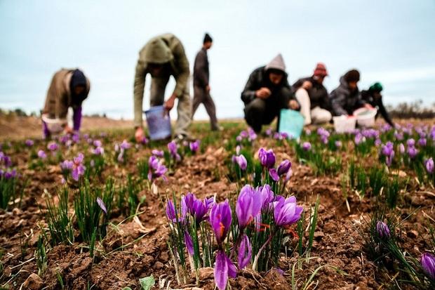 10کیلوگرم زعفران برای نخستین بار در آذربایجان غربی برداشت شد
