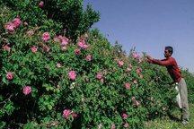 برداشت گل محمدی در مهریز آغاز شد