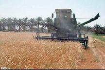 برداشت نخستین گندم کشور در سیستان و بلوچستان آغاز شد