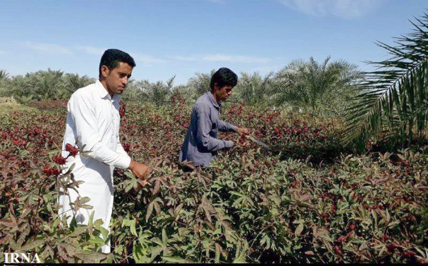 برداشت چای ترش در شهرستان دلگان آغاز شد