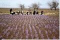 پیش بینی برداشت 600 کیلوگرم زعفران از مزارع چهارمحال و بختیاری