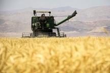 امسال بیش از 55 هزار تن گندم در نقده تولید می شود