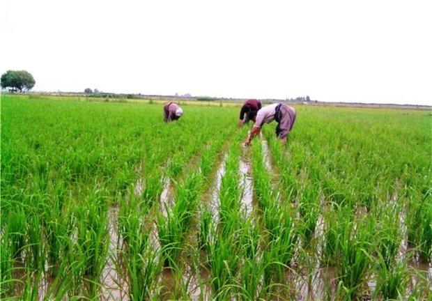 کشت برنج در فارس و چشم انداز فرارو