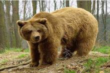 خرس وحشی قرقبان کوهرنگی را زخمی کرد