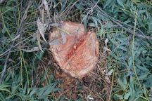 برخی درختان 30 ساله در بهارستان گرگان قطع شد