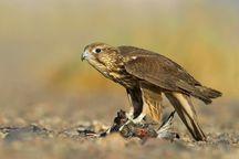 توقیف ابزار صید پرندگان شکاری در گلستان