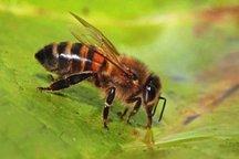 قاچاق ملکه و خشکسالی معضلات فراروی زنبورداری است