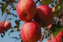 صادرات 50 هزار تن سیب درختی آذربایجان غربی به خارج از کشور