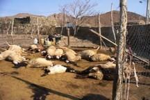 سیلاب 400 راس دام عشایر استان ایلام را تلف کرد