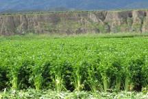 برداشت کرفس از 140 هکتار زمین کشاورزی طارم آغاز شد