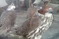 پنج پرنده کمیاب غیرمجاز در نهبندان کشف شد