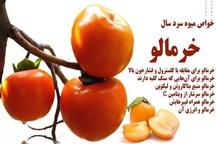 برداشت میوه خرمالو از باغهای استان گیلان آغاز شد