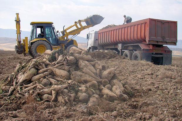 کشاورزان گلستان از هر هکتار ۵۳ تن چغندر قند برداشت کردند