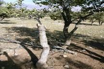 متخلف قطع درختان جنگلی در سیروان دستگیر شد