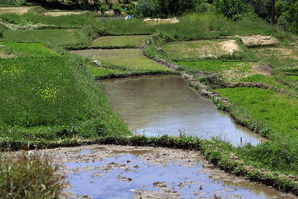 کشت برنج در گچساران و باشت ممنوع شد
