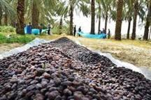 خرمای کبکاب و زاهدی استان بوشهر ثبت نشان ملی جغرافیایی شدند