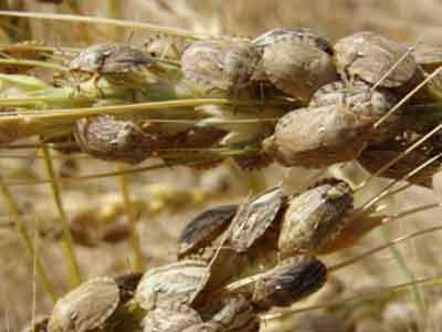 مبارزه با آفت شته روسی در سطح  5700 هکتار از مزارع گندم اهر