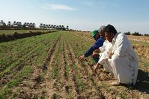 گندم در 2 هزار هکتار از زمین های کشاورزی دلگان کشت شد