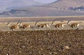 قریب یکهزارو ۴۰۰ راس آهو در زیستگاه آهوان زنجان شمارش شد