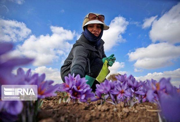 زنجیره تولید زعفران در خراسان شمالی تکمیل میشود
