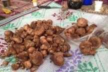 سود قارچ دنبلان خراسان شمالی در جیب واسطه ها