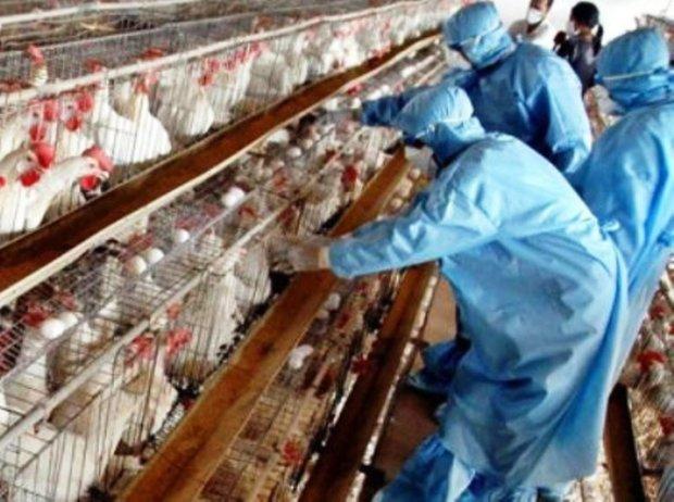 نظارت بر مرغداری های ری برای مقابله با آنفولانزا تشدید شد