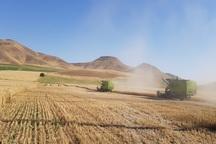 150هزار تن گندم از مزارع بوکان برداشت می شود