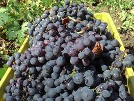 """فردا، اولین جشنواره انگور سیاه سردشت """"رشه"""" برگزار می شود"""
