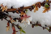 سرمازدگی به 31 هزار هکتار از باغ های استان مرکزی خسارت زد