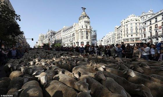 مادرید زیر سم گوسفندان+ تصاویر