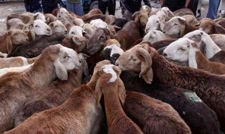 300 رأس دام بدون مجوز در کامیاران کشف شد