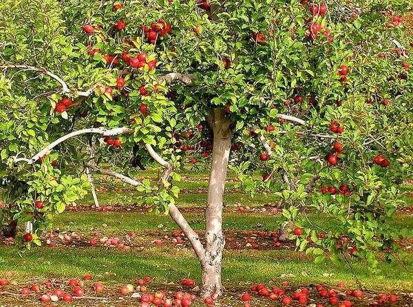 سیب درختی باغداران زنجانی مشمول خرید تضمینی شد
