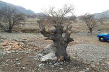 دستگیری سه متخلف قطع درختان جنگلی در منطقه گردشگری شلالدان باشت