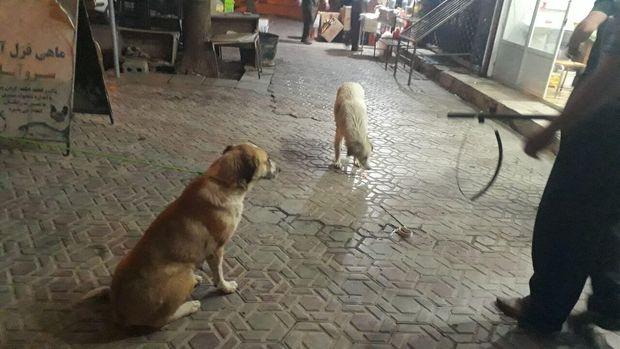 ساماندهی سگهای ولگرد در تیران نیازمند همکاری بینبخشی است
