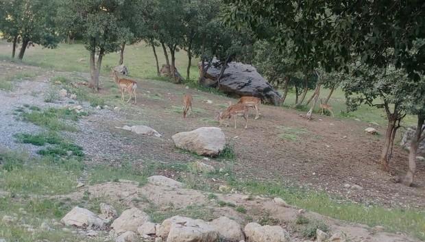 پنج گوساله در سایت احیای گوزن ایلام متولد شدند