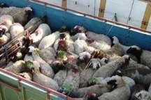 توقیف کامیون های حامل 15 شتر و 180 گوسفند قاچاق در بردسکن