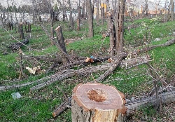 جزئیات تازه از قلعوقمع ۲۰۰۰ اصله درخت در گلمکان