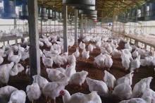 مرغداران برای مقابله با استرس گرمایی آمادگی داشته باشند