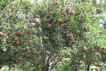حجم تولید سیب درختی در نیشابور افزایش یافت