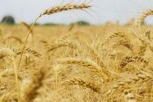 خرید گندم کشاورزان از طریق سامانه پهنه بندی صورت می گیرد