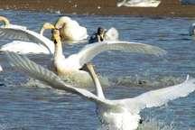 دید و بازدید نوروزی پرندگان مهاجر در تالاب شیرین سو کبودراهنگ