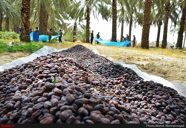 احداث دهکده خرمای شرق کشور در بم   بهرهبرداری  یک سال آینده