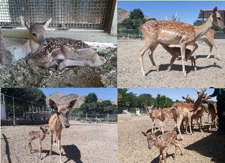 زایمان گونه در معرض انقراض گوزن زرد ایرانی در باغ وحش اراک
